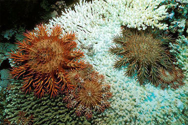 Crown of thorns sea stars feeding on coral