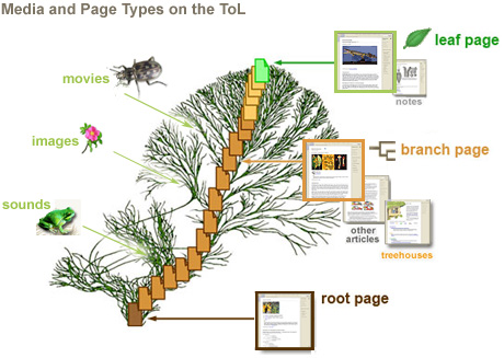 Several different page types and media are attached to groups of organisms on the ToL. These groups of organisms (and therefore the media and pages attached to them) are organized according to the genetic connections among Life on Earth.